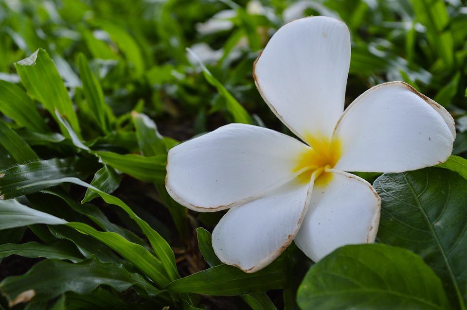 Tout savoir sur la fleur de tiaré : l'emblème de Tahiti