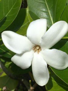huile essentielle fleur de tiaré